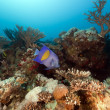 Yellowbar angelfish in Red Sea. — Stock Photo #10720108