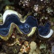 Giant clam (tridacnsquamosa). — Stock Photo #10720716