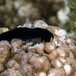 Yellow lip shield slug (chelidonura flavolobata). - Stock Photo
