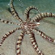 Stock Photo: Mimic octopus (thaumoctopus mimicus) in Red Sea.