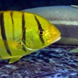图库照片: Juvenile golden trevally (gnathanodon speciosus)