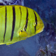 Juvenile golden trevally (gnathanodon speciosus) — Stock Photo