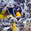 Stock Photo: Anemonefish in leathery anemone.
