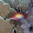 Lyretail anthias in the Red Sea. - Photo