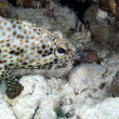 Stock Photo: Greasy grouper (ephinephelus tauvina) in Red Sea.