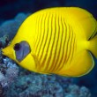Masked butterflyfish in Red Sea. — Stock Photo #10722120