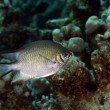 Pale damselfish in the Red Sea. — Stock Photo