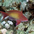 Lyretail anthias in the Red sea. - Stockfoto