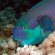 Parrotfish in de Red Sea. - Stock fotografie