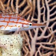 Longnose hawkfish (oxycirrhites typus) in de Red Sea. - Stockfoto