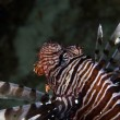 Lionfish in de Red Sea. - Stock Photo