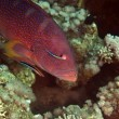 Coralgrouper and cleaner wrasse in de Red Sea. - 图库照片