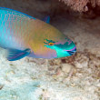 Parrotfish in de Red Sea. - 图库照片