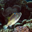 Picasso triggerfish in the Red sea. — Stock Photo