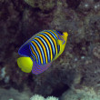 Royal angelfish in Red sea. — Stock Photo #10727821