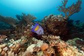 Angelfish d'yellowbar en mer rouge. — Photo