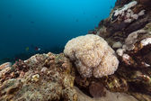 Bubble coral in the Red Sea. — Stock Photo