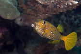 Yellow boxfish fem. (ostracion cubicus). — Stock Photo