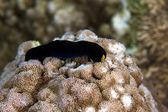 Yellow lip shield slug (chelidonura flavolobata). — Stock Photo