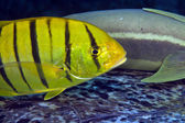 Juvenile golden trevally (gnathanodon speciosus) — Stockfoto