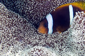 Anemonefish in a Haddon's anemone — Stockfoto
