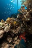 Pez anémona y vidrio en el mar rojo — Foto de Stock