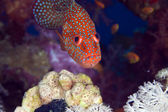 Coral hind in the Red Sea. — Stock Photo