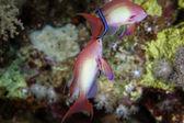 在红海  anthias — 图库照片
