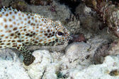 Greasy grouper (ephinephelus tauvina) in the Red Sea. — Stock Photo