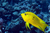 Female slingjaw wrasse (epibulus insidiator) — Stock Photo