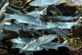 Foldlip mullet (oedalechilus labiosus) — Stock Photo