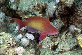 Lyretail anthias in the Red sea. — Stock Photo