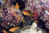Oman anthias in the Red Sea. — Stok fotoğraf