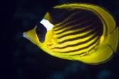 Striped butterflyfish in de Red Sea. — Stock Photo