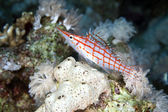 Longnose hawkfish (oxycirrhites typus) in de Red Sea. — Stock Photo