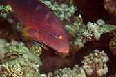 Coralgrouper en schonere wrasse in de rode zee — Stockfoto