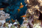 Oman anthias in the Red Sea. — Stock Photo