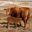 Mother With Suckling Calf — Stock Photo