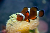 Vibrant Clownfish — Stock Photo