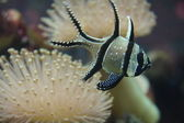 Banggai Cardinal Fish — Stock Photo