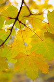 Herbst zweig — Stockfoto