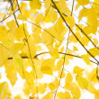 Yellow alder leaves - Stock Photo
