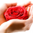 Photo of fresh red rose in female hand — Stock Photo #10719355