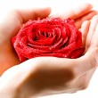 Stock Photo: Photo of fresh red rose in female hand