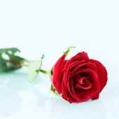Beautiful rose — Foto Stock