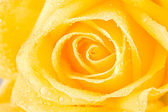 Yellow rosebud — Stock Photo