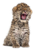 Amur leopard cub yawning, Panthera pardus orientalis, 6 weeks old, — Stock Photo