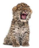 Amur leopard cub yawning, Panthera pardus orientalis, 6 weeks old, — Stock Photo