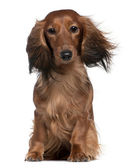 Dachshund with his hair in the wind, 2 years old, sitting in front of white background — Stock Photo
