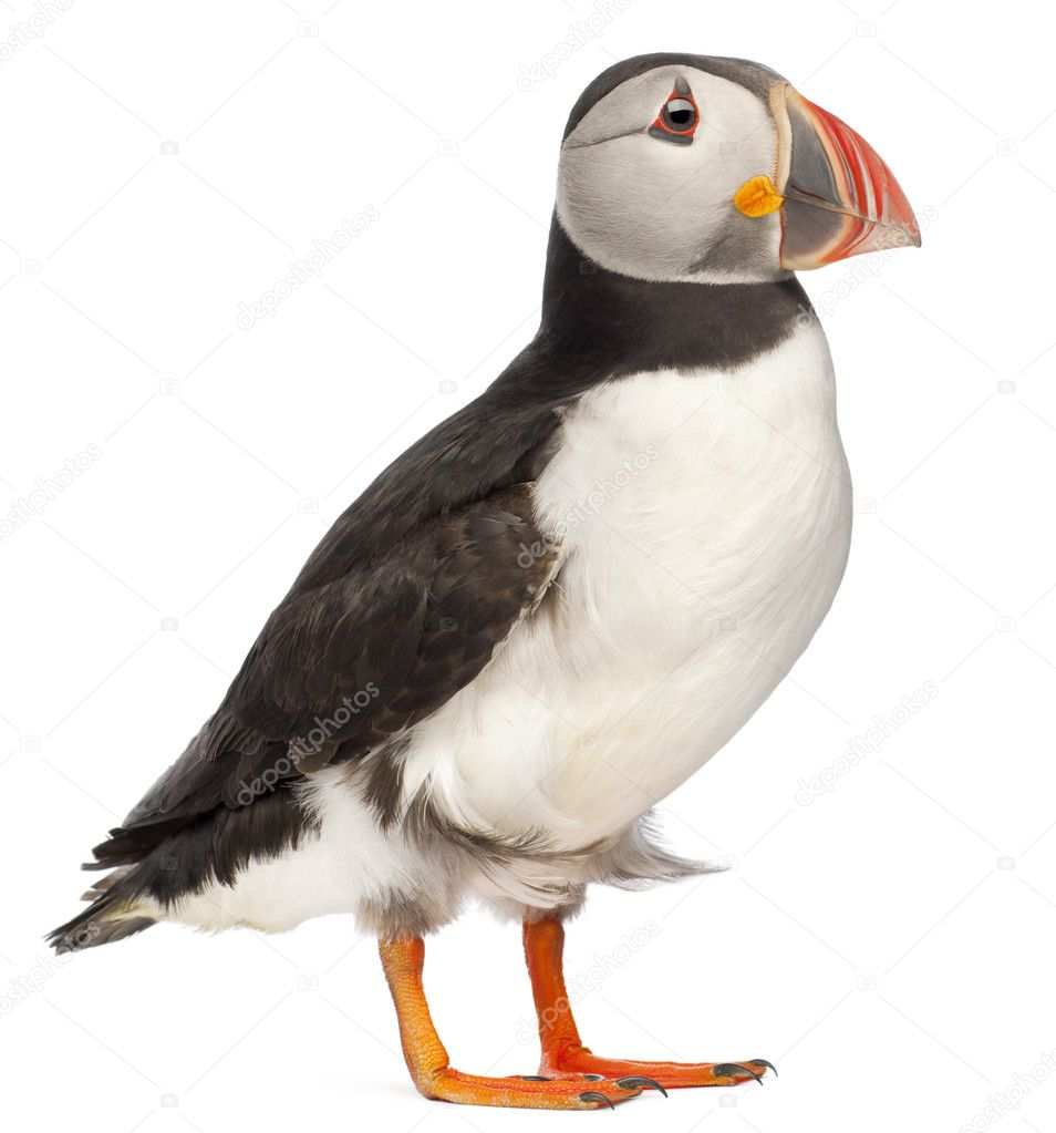 Atlantic Puffin or Common Puffin, Fratercula arctica, in front of white background — Stock Photo #10640306